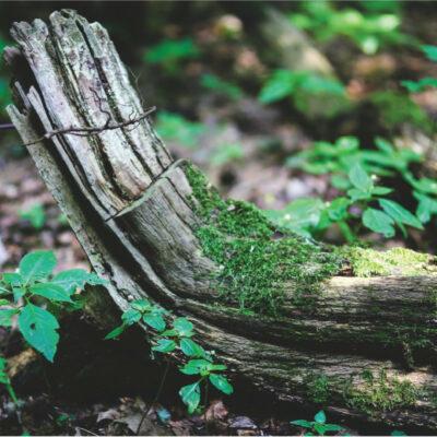 Mirusī koksne
